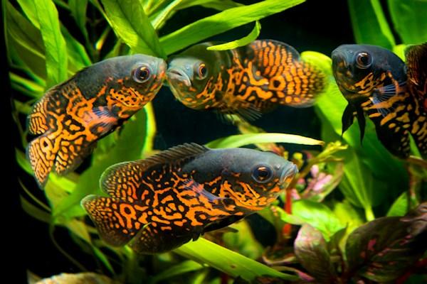 ACO_Süßwasserfische