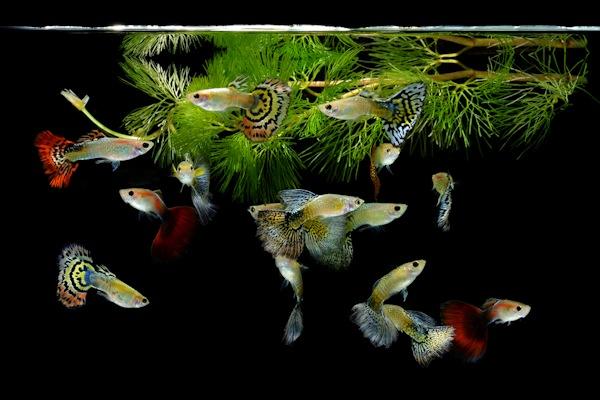 ACO_Süßwasserfische3