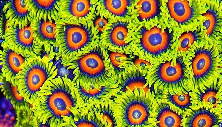 Zoanthus_greenorangeblue_web
